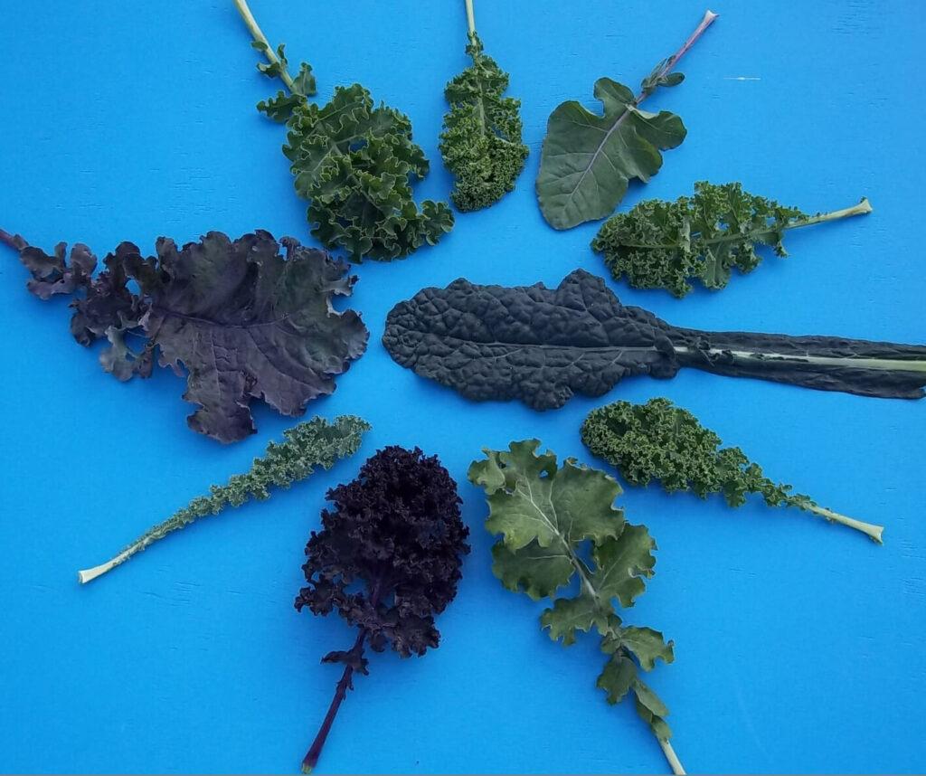 Verschieden geformte und gefärbte Blätter von Grünkohlsorten auf einem blauen Hintergrund