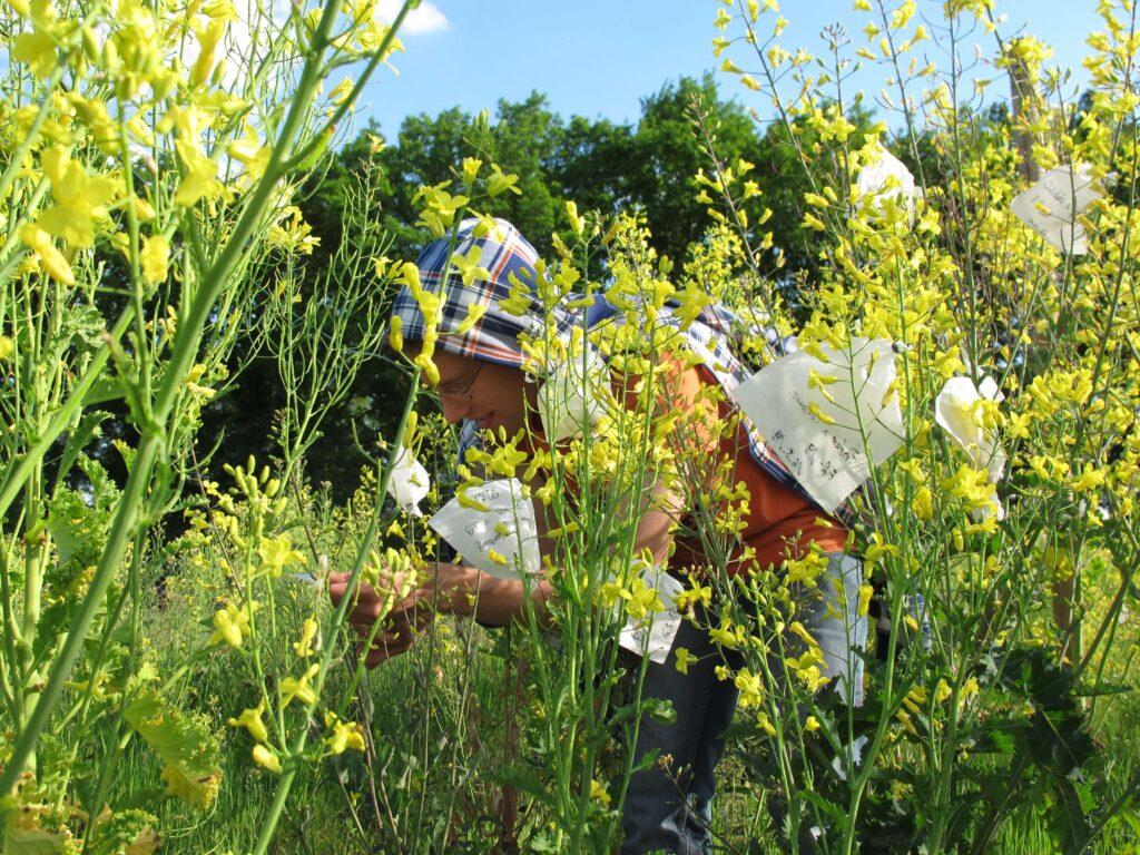 C. Hahn zwischen gelb blühendem Grünkohl