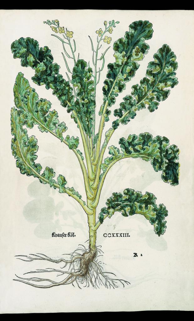 Zeichnung einer Grünkohlpflanze von Leonhart Fuchs aus dem Jahr 1543