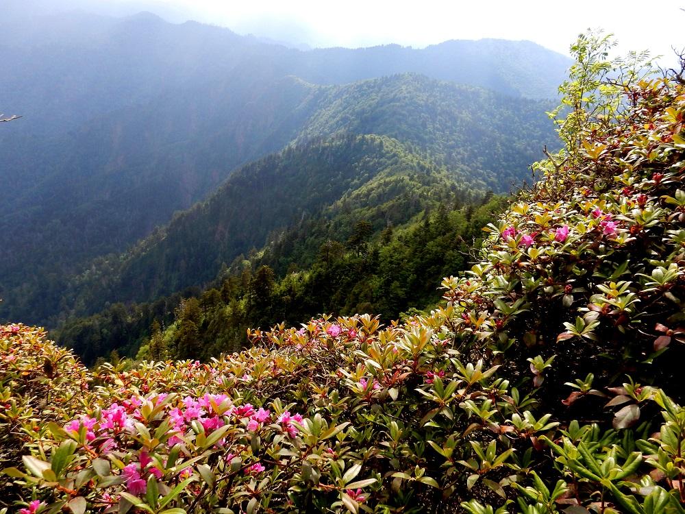 """Die Rhododendrenart """"Rhododendron smokianum"""" in den Great Smoky Mountains"""