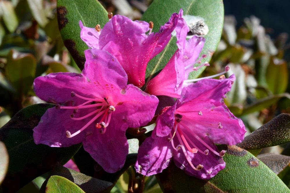 Detailaufnahme einer Blüte und eines Blattes von Rhododendron smokianum